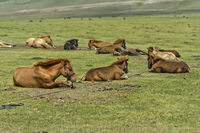 Foals lying tied on the ground waiting for the return of the mares for suckling, Mongolia