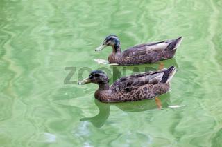 pair of mallard in water