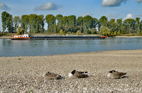 resting Canada Geese at Rhine River,Rhineland,Germany
