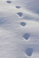 tracks in snow... Red Fox *Vulpes vulpes*