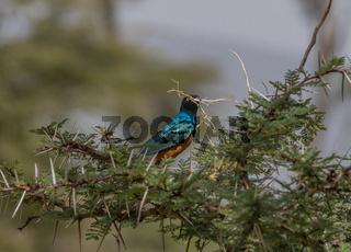 Dreifarben Glazstar Vogel, Lamprotornis superbus  im Tarangire Nationalpark