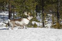 Finnisch Lappland-Inari-Rentiere in freier Natur