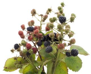 Ripe and unripe berries of wild  blackberry