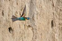 bee-eater starting from the  breeding tube