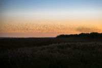 Flock in the sunset