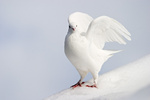 Weisse Taube im Winter, white pigeon or dove in winter