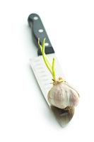 The germination garlic.