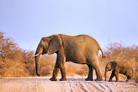 elephant and a baby crossing the street at Kruger NP, south africa
