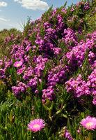 Pink flowers (Carpobrotus) on hillside.
