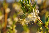 Winter-Heckenkirsche, Lonicera fragrantissima - winter honeysuckle Lonicera fragrantissima is blooming in winter