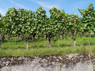 Weinreben mit Weintrauben