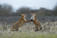standing on hind legs... Red Foxes *Vulpes vulpes* in fight, threatening each other