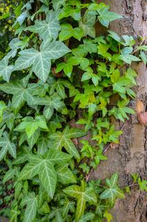 Efeu (Hedera helix) mit grünem Laub an einem Baum