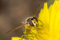 A beautiful species of hoverfly diptera sirfidae