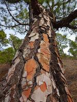 tree bark closeup -  pine tree trunk