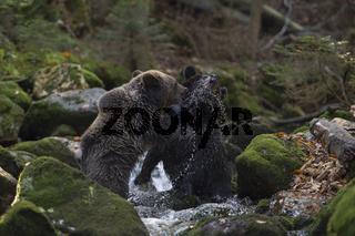 Kräftemessen... junge Europäische Braunbären *Ursus arctos*