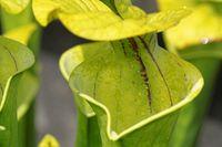 1 BA  Gelbe Schlauchpflanze.jpg