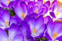 macro of some purple crocuses in spring