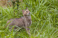 Attentive house cat / Felis catus outdoors on a green meadow