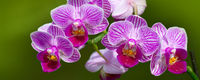 Pink orchid flowers background.