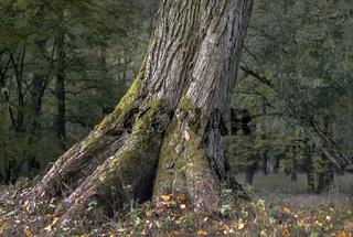 Der Baumstamm