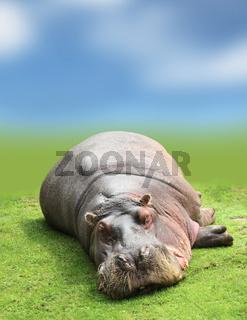 Hippopotamus On green grass