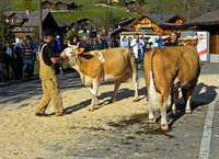 Presentation of Simmental Fleckvieh cows at a cattleshow, Lauenen, Switzerland