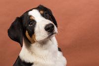 appenzeller dog in portrait on pink background
