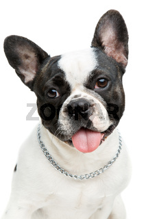 french bulldog dog isolated on white background