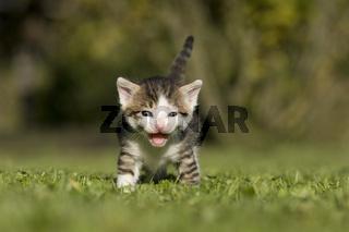 Katze, Kaetzchen miauend, lachend auf Wiese, Cat, kitten laughing, miaowing on a meadow
