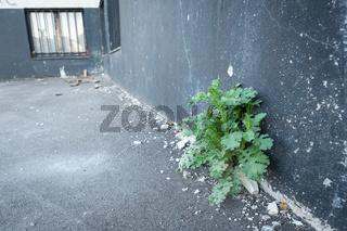 Grüne Pflanze an einem maroden Gebäude im abgeplatzten Verputz
