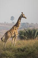 giraffe standing in the bush the savanna sunny day