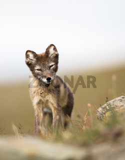 Curious young arctic fox looking into camera Svalbard