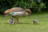 Egyptian goose with kids