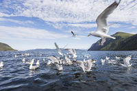 common European gulls at fjord