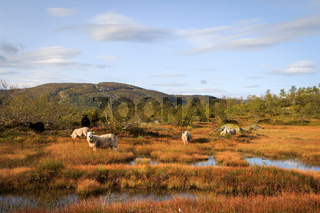 Herd of sheep in a mountain landscape in Norway