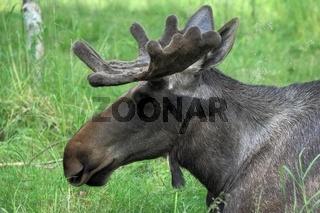 Elchbulle, Alces alces, Moose