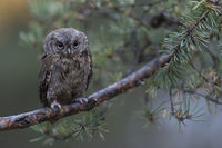 just cute... Eurasian Scops Owl *Otus scops*
