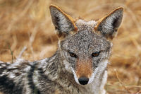 blackbacked Jackal, south africa, wildlife
