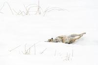 convenience behaviour... Coyote *Canis latrans*