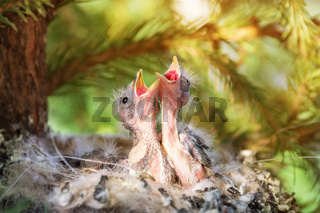 chicks in the nest