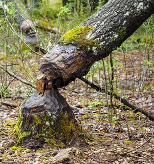 Closeup of a birch tree fallen after being eaten by beaver