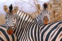 Plains zebras, Kruger NP, South Africa