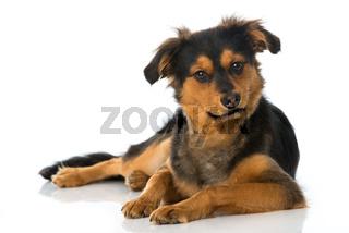 Liegender Mischlingshund