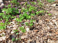 Corydalis plant in spring