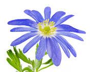 Isolated blue winter windflower anemone blanda