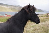 Faeroes, horse