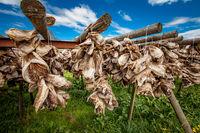 Fish heads drying on racks