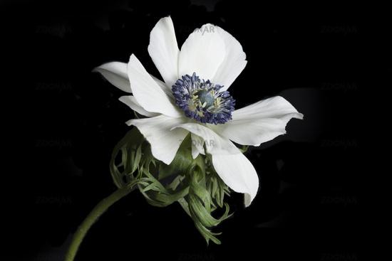 poppy anemone, or spanish marogold, Anemone coronaria