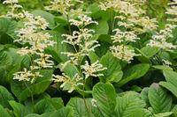 Kastanienblättriges Schaublatt, Rodgersia aesculifolia - Rodgersia aesculifolia, a beautiful foliage plant
